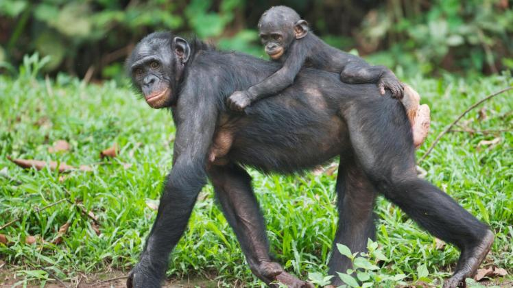 Mother and baby Bonobo Chimpanzee at the Sanctuary Lola Ya Bonobo, Democratic Republic of the Congo