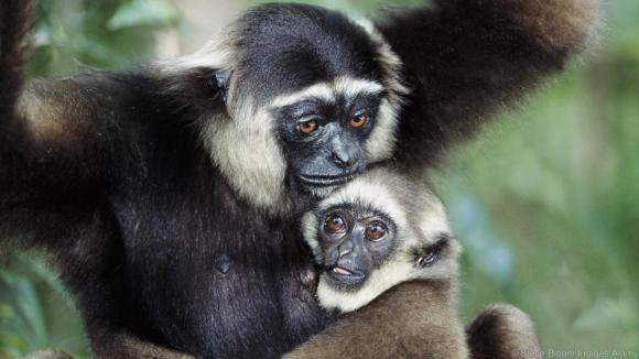 Dark handed gibbon and baby Tanjung Putting Borneo