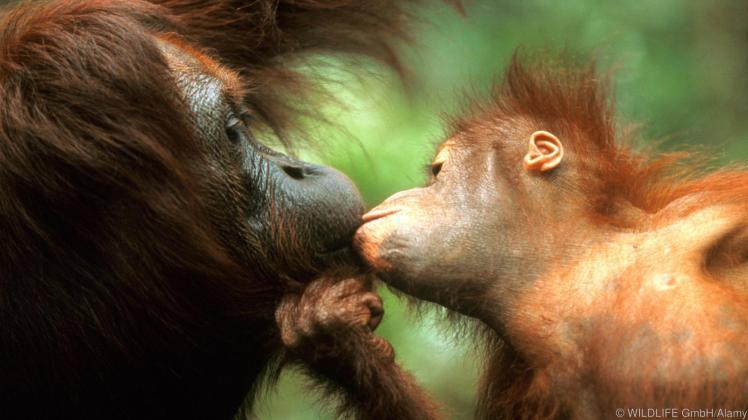 Orang Utan, Orangutan (Pongo pygmaeus), mother and child cuddling and kissing